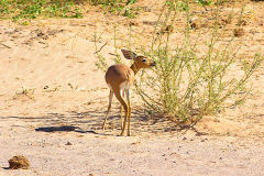 A springbok in the himba region of Namibia