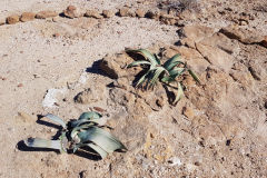 Welwitschia in the Himba Region of Namibia