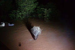 Porcupine in the dark at Porcupine camp site near Kamanjab in Namibia