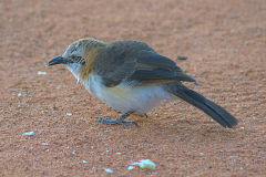 A unknown bird at the porcupine camp site near Kamanjab in Namibia.