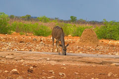 An unknown animal at a water hole in Etosha National Park Namibia.