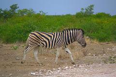 A zebra in Etosha National Park Namibia.