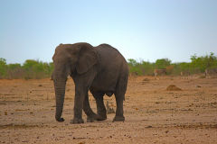 An elephant in Etosha National Park Namibia