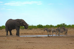 Zebras and an elephant at a water hole in Etosha National Park Namibia.
