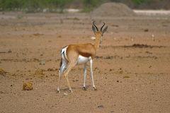 A springbok in Etosha National Park Namibia.
