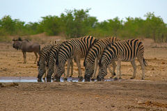 Zebras at a water hole in Etosha National Park Namibia