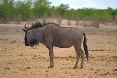 A wildebeest at Etosha National Park Namibia