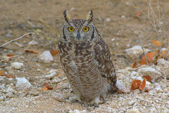 An owl sitting at the dirt road in Etosha National Park