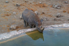 A rare black rhino at the Oliphantus Camp water hole in Etosha National Park Namibia