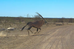 Antelope running in front of a car across the road in Etosha National Park Namibia
