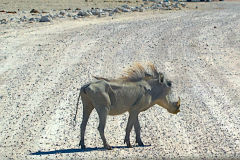 Lean Wild Boar in Etosha National Park Namibia