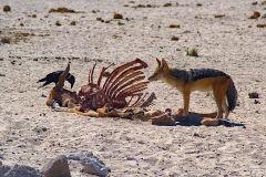 Scavengers in Etosha National Park Namibia