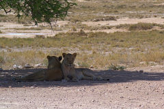 Lions under a tree in the shade in Etosha National Park Namibia