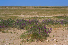 Flowering plants in the desert of Etosha National Park Namibia