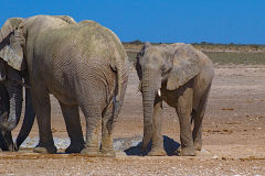 Elephants in Etosha National Park Namibia