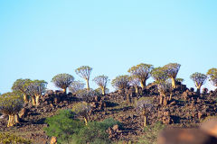 Quiver tree landscape at Mesosaurus Fossils camp site Namibia