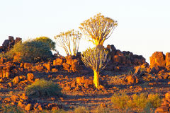 Quiver trees during sunset at Mesosaurus Fossils camp site Namibia