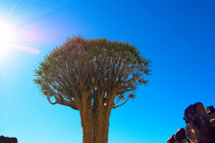 Quiver tree in the Kalahari Desert of Namibia