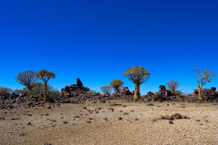 Quiver trees in the Kalahari Desert in Namibia
