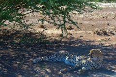 Cheetah at a camp site near Keetmanshoop in Namibia