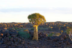 Quiver tree during sunset in the Kalahari in Namibia