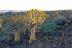 Quiver trees during sunset at Mesosaurus Fossils camp site in Namibia