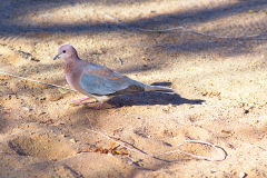 Colored pigeon at the camp site of Ais-Ais in the Fish River Canyon of Namibia