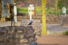 A bird at Ais-Ais camp site in the Fish River Canyon Namibia