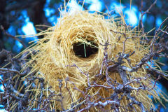 Bird nest in the Namib Desert in Namibia