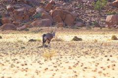 Antilope in the Namib Desert in Namibia