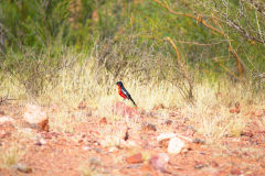 Bird in the Namib Desert in Namibia